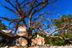 Basking Ridge Tree (nywheels) Tags: baskingridgeoaktree baskingridgenewjersey newjersey tree sky church 600yearsold historic historical nj