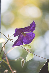 Clematis (Inka56) Tags: hbw