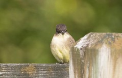7K8A1984 (rpealit) Tags: scenery wildlife nature kittatinny valley state park eastern phoebe bird