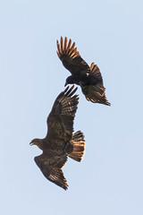 Buzzard (warren hanratty) Tags: gloucestershire buzzard buteobuteo birdofprey birdinflight tortworth