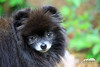Black Pomeranian (Seth Berry Photography) Tags: bear dog black cute puppy cub small adorable pomeranian