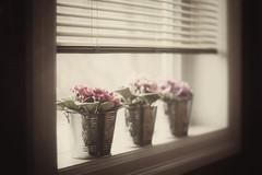 32/100 windows & doors ~the sequel~ (s@ssyl@ssy) Tags: flowers window three soft 50mm14 pale blinds violets hazy subtle hww windowwednesdays