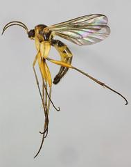 Saignsuia flaviventris, Trawscoed, North Wales, June 2014 (janetgraham84) Tags: flaviventris mycetophilidae saignsuia