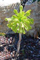 Aeonium arboreum (syn A. manriqueorum) - BG La Concepcion - Malaga (Ruud de Block) Tags: crassulaceae malaga aeoniumarboreum jardnbotnicohistricolaconcepcin bglaconcepcionmalaga