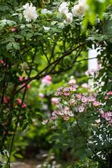 Rose Garden (Yorkey&Rin) Tags: japan tokyo spring may olympus rin 2015 inagi em5  myfriendsgarden springrose olympusm45mmf18   pc235966