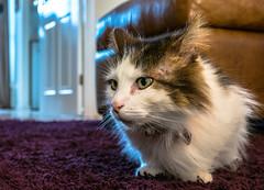 On the carpet Tilly the 3-legged cat (Up Close) (Panasonic LX100) (markdbaynham) Tags: leica pet cute cat lens lumix feline zoom panasonic ft tilly 43rd compact 3legged lx pany evf fourthird lx100 2475mm f1728