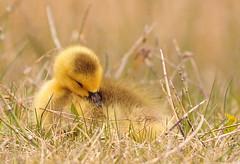 sweet dreams. . . (anniedaisybaby) Tags: texture geese spring pond poem peace wildlife manitoba goslings wetlands marsh waterfowl canadageese interlake wendellberry lakewinnipeg flypaper thepeaceofwildthings