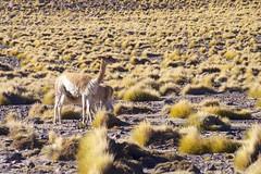 Vicuñas (ebarria_alpha) Tags: de san pedro atacama vicuña