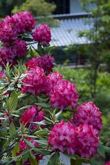 at exit way ( ) (Toshimo1123) Tags: japan hiroshima rhododendron  higashi     fukujyoji