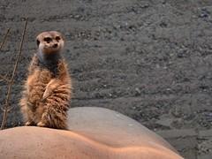 curious meercat (living__dream) Tags: zoo meercat erdmnnchen