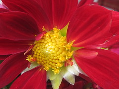 Red Flower with Yellow Center (shaire productions) Tags: flowers nature petal image garden growth picture photo photograph photography beauty macro detail natural imagery yellow orange center red