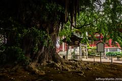 1000 year old Ginko Tree (Dubai Jeffrey) Tags: 1200yearold chiba chibadera japan temple tree