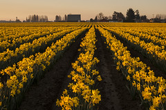 Farm Land field of daffodills (Jim Corwin's PhotoStream) Tags: agriculture floral nw pacificnorthwest skagitvalley washingtonstate barn beautiful beauty beautyinnature bloom blooming countryside cultivation daffodils decorative farm farming farmland field flora flower fora home horizontal icon iconic idyllic inspire inspiring landscape nature northwest outdoors pattern patterns photography plant plants row rows rural scenic spring sunrise symmetry texture tranquil tranquilscene uplifting warmcolors
