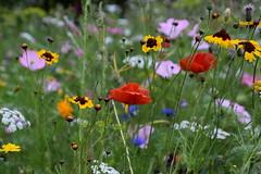 Meadow (eowina) Tags: meadow flowers plant coloursofnature