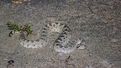 Nothing scarier than hearing a rattlesnake's rattle in the dark desert. A totally brown pants moment. (RStonejr) Tags: rattlesnake sidewinder mojavedesertsidewinder rattler snake desert night outdoor canon dslr california crotaluscerastes venomous viper youngrattlesnake juvenilesnake animalplanet nature reptile owensvalley inyo inyocounty