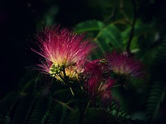 Fleurs d'Albizia... (chang_j1) Tags: fleurs extérieur arbre couleur albizia feuillage