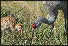 Sandhill Cranes 2016 #12 (hamsiksa) Tags: birds aves ornithology cranes sandhillcranes grusidae gruscanadensis marsh impoundment nationalwildliferefuge lakewoodruff wetlands biology ecology