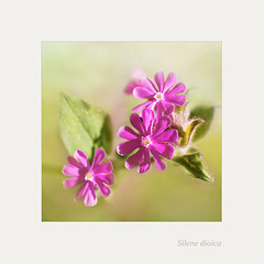 Silene dioica (BirgittaSjostedt) Tags: wild summer plant flower texture nature closeup outdoor ie redcampion silenedioica redcatchfly magicunicornverybest birgittasjostedt