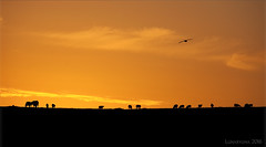 an Orkney sunset silhouette theatre (lunaryuna) Tags: scotland orkneyisles orkneys northernisles westray sunset animals sheep cattle gull cinematicmood lightmood sundown dusk clouds sunsetmood summer silhouettetheatre lunaryuna