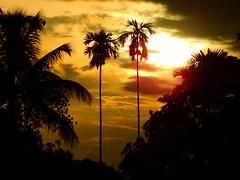 Sunset with areca nut trees,Bangladesh (Shafi Uddin1) Tags: nature naturallight theartofnature theartofgod sunset sunlight treesunset tree beautiful beautifulbangladesh bangladesh nikkor nikon nikkor40136mm nikonlens sky asia jeff fernando kelly n ron mohammed luis ntino
