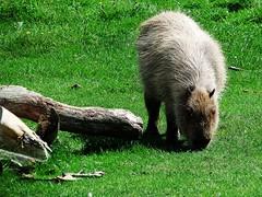 Capybara (Hydrochoerus hydrochaeris) at Marwell (Nick.Bayes) Tags: capybara hydrochoerus hydrochaeris marwell