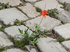 ckuchem-0509 (christine_kuchem) Tags: stein mohn zwischen kopfsteinpflaster pflasterstein stadtgrn begrnung wildpflanze wildwuchs