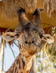 """Giraffe • <a style=""""font-size:0.8em;"""" href=""""http://www.flickr.com/photos/139356786@N05/28283238493/"""" target=""""_blank"""">View on Flickr</a>"""