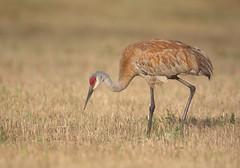 Sandhill Crane (sspike@rogers.com) Tags: sandhill steverossi ontario canon summer crane