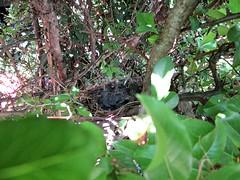 IMG_1341_Fotor01 (Ela's Zeichnungen und Fotografie) Tags: baby nest natur hannover tier vogel busch kcken