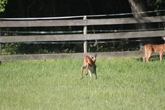 IMG_9075 (thinktank8326) Tags: nature wildlife deer spots fawn whitetaileddeer babyanimal