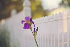 You'll turn out ordinary if you're not careful! (Sandra H-K) Tags: fencefriday fence hff flower flora iris purple white bokeh nature outside outdoors dof depthoffield dreamy serene soft softfocus pastel