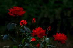 Sere d'estate      sere passate (kiareimages1) Tags: flowers fleurs fiori rose roses rosso colori couleurs colors colores images immagini imagery imagenes