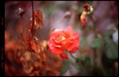 Backyard (Rafakoy) Tags: nikonf6 afnikkor50mmf14d 50mm fujichromevelvia100 e6 flower colors bokeh focus vivid saturated velvia100 fuji fujichrome velvia slide nature plant queens park ny nyc newyork film 35mm epsonv600 scan exposure inprint slr