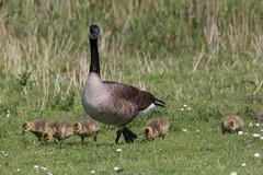 Observant Canada Goose with  chicks (jmwill2005) Tags: brantacanadensis kanadagans canadagoose chicks küken gans gänse tiere vögel wasservögel niederland deprunje holland nordsee schelde