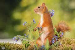 dancing with blues (Geert Weggen) Tags: mammal rodent squirrel nature animal red flower perennial closeup cute plant funny happy summer ground spring bright light branch look love tender blue geert weggen hardeko