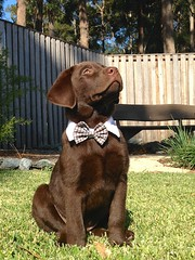Little Gentleman (TonyinAus) Tags: dogs dapper labaradors chocolate labarador