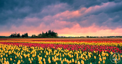 Fields Of Gold (www.35mmNegative.com(On a Break, Catchin) Tags: www35mmnegativecom reetom hazarika photography nikon d800e oregon tulip fields landscapelsunset sunrise landscape flowers farming farms wooden shoe mammatus clouds farmland agriculture