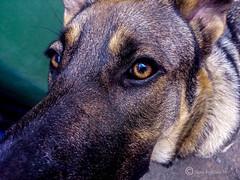 Tito (Nino Fogliani 58) Tags: cani dog animali animals animaux primopiano colori tito   chiens  psy