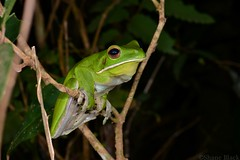 White-lipped Tree Frog (Litoria infrafrenata) (shaneblackfnq) Tags: whitelipped tree litoria infrafrenata shaneblack iron range lockhart river cape york peninsular queensland australia tropics tropical rainforest