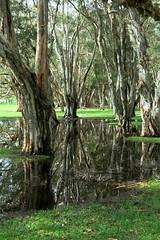 Centennial Park, Sydney (sarah.handebeaux) Tags: centennial park pretty trees water puddle reflection
