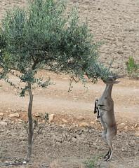 Cabra haciendo de lemur (vic_206) Tags: cabramontesa canoneos7d canon300f4liscanon14xii olivo