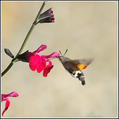 sphinx (Photos-oleron) Tags: vivitar 70300 e3 olympus fleurs sphinx rouge papillon proxy