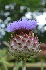Violet Crown (dhcomet) Tags: knebworth stevenage herts hertfordshire lyttoncobbold stately home house estate cardoon thistle purple crown