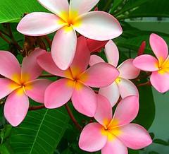 Plumeria (ktboy26) Tags: obtuse plumeria frangipani