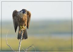 "Peregrine Falcon (Christine Fusco ~ ""Jersey Strong"") Tags: peregrinefalcon raptor falcoperegrinus threatened birdofprey bird marsh summer 2016 refuge forsythewildliferefuge"