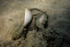 _DSC1073 (andrewlorenzlong) Tags: california laguna beach lagunabeach pacific ocean pacificocean snorkel snorkeling stingray sting ray rays stingrays leopard leopardray leopardrays thornback thornbackray