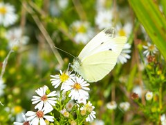 Cabbage White (Pieris rapae) (Nature In a Snap) Tags: crosswicks creek greenway province line road access plumsted township ocean nj new jersey 2016 nature wildlife cabbage white pieris rapae butterfly butterflying butterflier lepidoptera winged fall