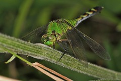 Eastern Pondhawk, female (OrlandParkBirdieGirl) Tags: dragonfly eastern pondhawk female lake katherine nature center botanic garden palos heights illinois usa