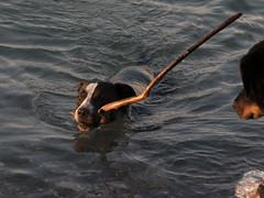 Tiens elle revient de la pche ? (Elyane11) Tags: chiens beauceron jeux lac reflet