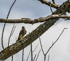 9Q6A7129 (2) (Alinbidford) Tags: alinbidford alancurtis brandonmarsh kingfisher greyheron heron kestrel